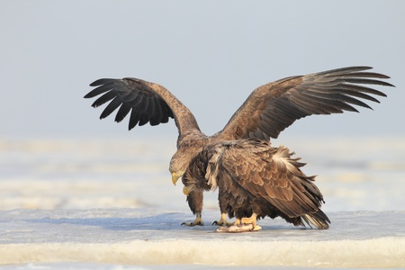 The consumption of the raptor white tail bald eagles photo