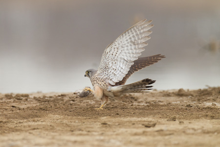 catching: Catching mice, Kestrels