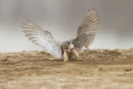 Catching mice, Kestrels
