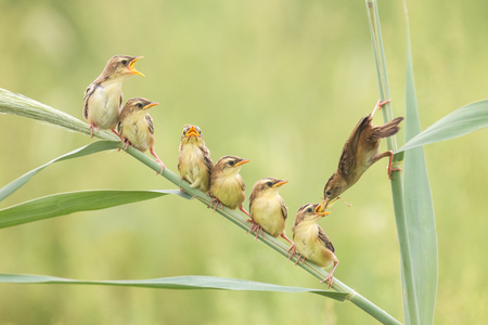 dada: Zitting cisticola Stock Photo