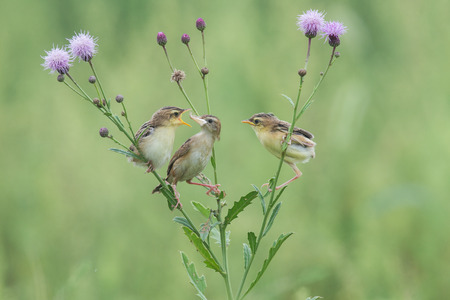 Zitting cisticola Stock Photo