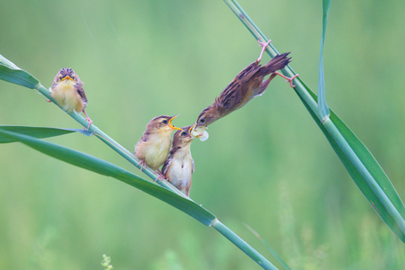 tail fan: The mother bird of the brown fan tail bird in Shandong, China