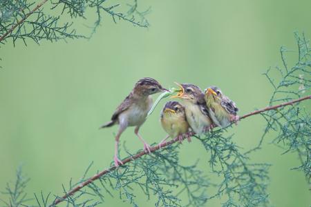 tending: China Shandong brown cisticola mother bird tending nestlings