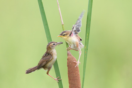 China Shandong brown cisticola mother bird tending nestlings