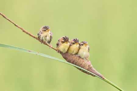 fantail: Shandong Chinese rufous fantail warbler nestlings
