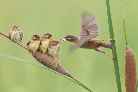 Chinese Shandong brown cisticola mother tending nestlings Stock Photo