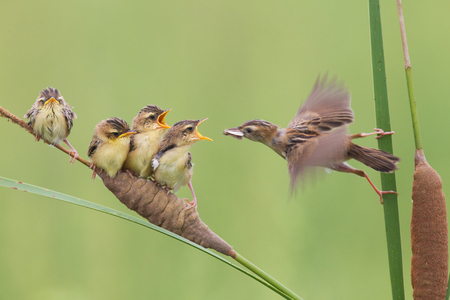 tending: Chinese Shandong brown cisticola mother tending nestlings Stock Photo