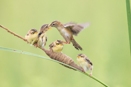 tail fan: China Shandong Brown fan tail to feed their children Stock Photo