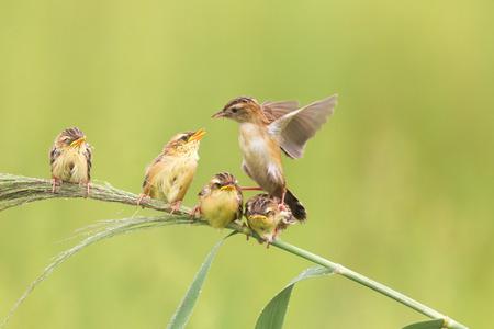 tail fan: China Shandong Brown fan tail of the raising of birds Stock Photo