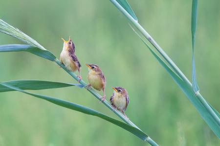 tail fan: China Shandong Brown fan tail bird bird Stock Photo