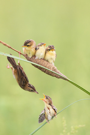 China Shandong Brown fan tail of the raising of birds Stock Photo