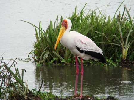 afrika: stork in Afrika Ngoro Ngoro Stock Photo