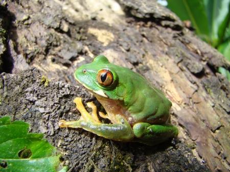 hyla: hyla arborea tree frog Stock Photo