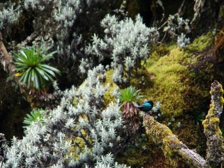 sunbird: Nectarinia johnstoni-Red-tufted Sunbird