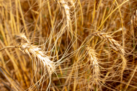 Wheat field.Yellow wheat ears field background. Wheat field natural product. Ears of golden wheat close up.