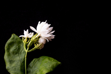 Beautiful jasmine flowers isolated on black background. 免版税图像