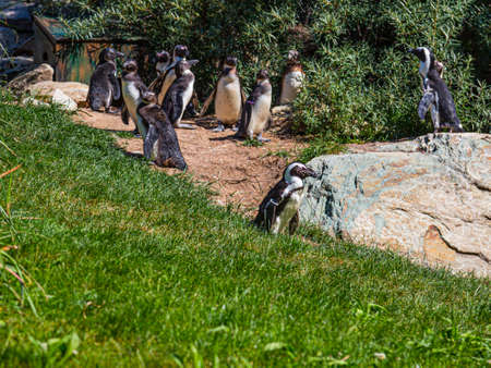 Group of Penguins in an outdoor enclosure in a German Zoo near frankfurt Stock fotó