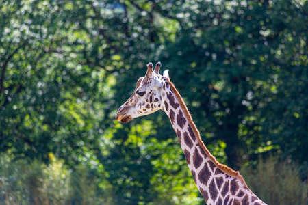 Portrait of an African giraffe taken in a German zoo close to Frankfurt
