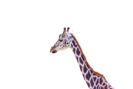 Portrait of an giraffe with empty background