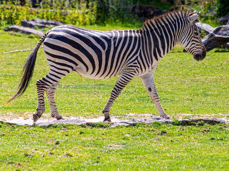 Portrait of an Zebra in an outdoor enclosure in a german Zoo near Frankfurt