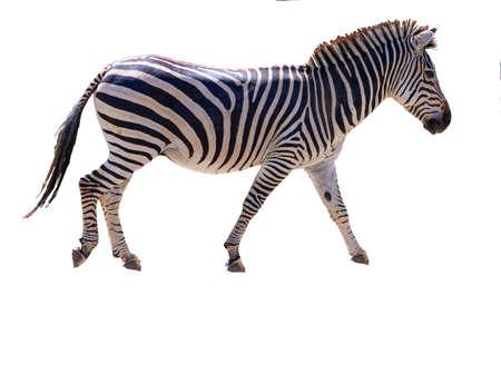 Portrait of an Zebra with empty background