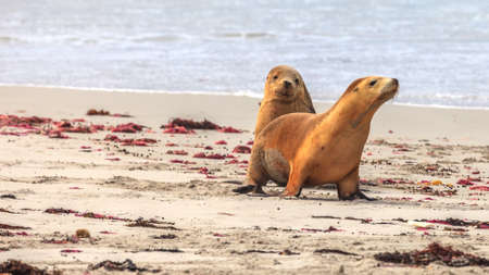 Photo of two seals photographed on the beach of Kangaroo Island in Western Australia in the summer of 2015 Stock Photo