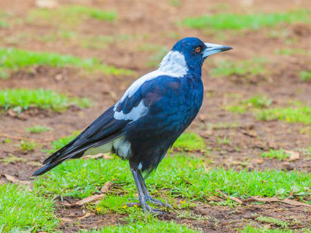 Footage of an Australian flute bird standing on the ground photographed during the day in March 2015
