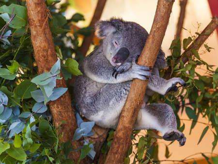 Koala bear in Australia clings to tree Archivio Fotografico
