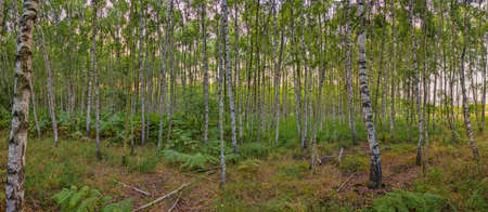 Panoramic view into a dense birch forest
