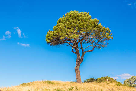 Portrait of single pine tree with blue skies during daytime in New Zealand Archivio Fotografico