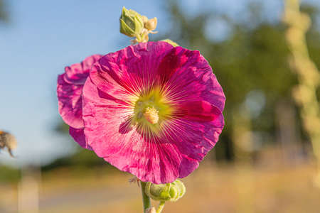 Close up picture of a red colored hollyhock blossom with blue sky and blurred trees in the background Stockfoto