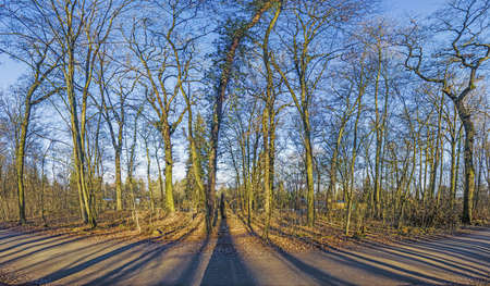 Panoramic image of winter forest free of leaves with long shadows under low sun and clear sky