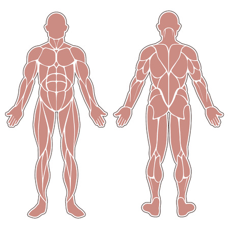 Human Body Silhouette With All Muscles Isolated On White Royalty