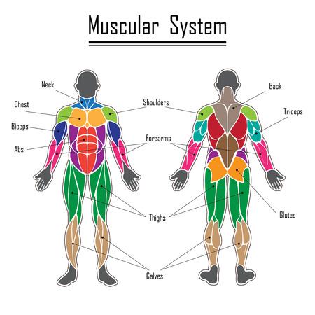 salud y deporte: músculos del cuerpo humano de diferentes colores y el texto
