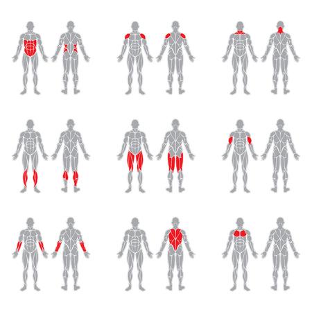 muscoli umani sagome isolato su sfondo bianco Vettoriali