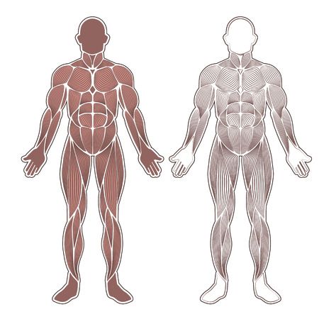 Human Body Muscles Different Colors And Text Royalty Free Cliparts