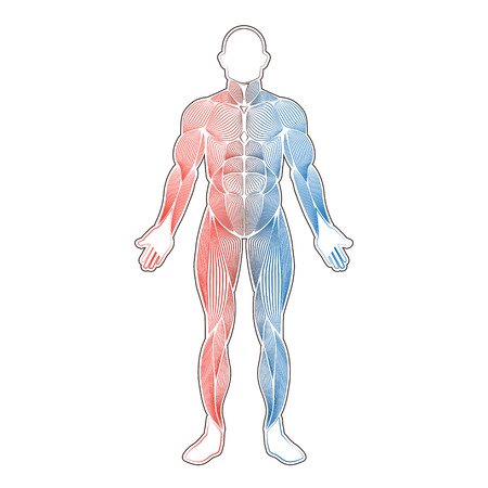 Human muscles two color Vector illustration. Illustration