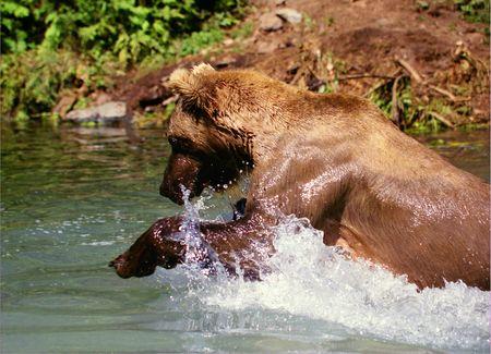 Grizzly Bear Fishing (Ursus arctos horribilis) in Alaskan Stream photo