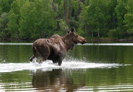Alaskan Moose Splashing In Tranquil Summer Lake photo