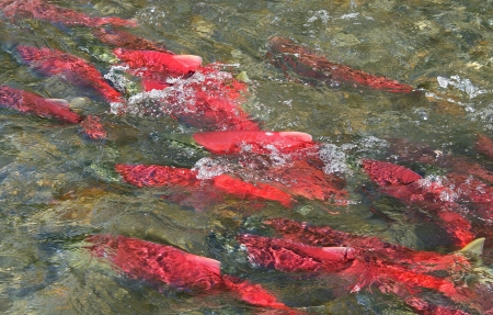 Alaska Sockeye Salmon photo