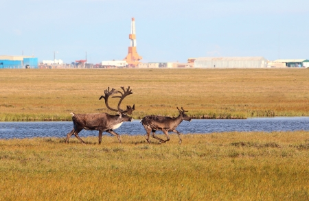 caribou: Bull and Cow Caribou In Arctic Oilfield