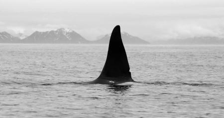 orificio nasal: Killer Whale Fin