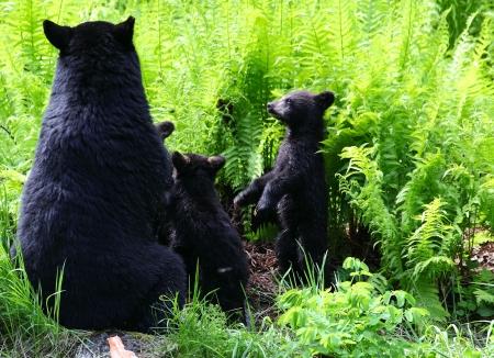 oso negro: Oso Negro Familia Foto de archivo