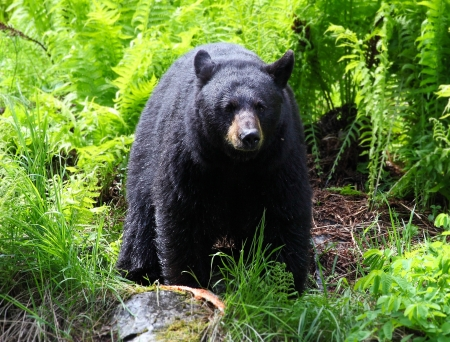 oso negro: Mujer Oso Negro Foto de archivo