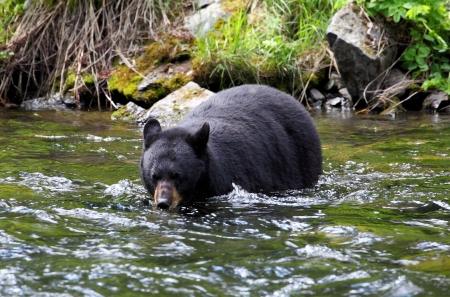 alaska: Female Black Bear Fishing Stock Photo