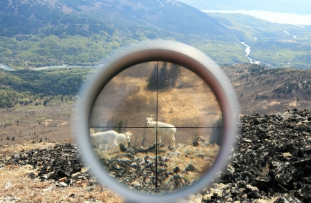 Dall Sheep In Crosshairs Of Spotting Scope Imagens