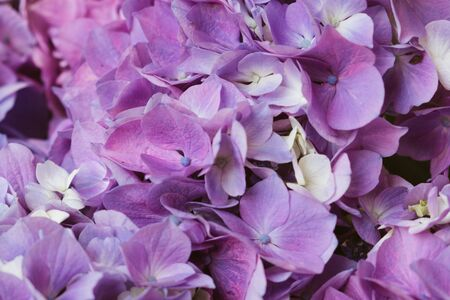 Beautiful pastel purple hydrangea flowers in bloom, close up. Flowery summer texture for background.