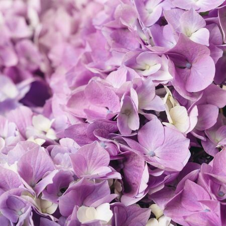 Flowery texture for background. Beautiful blooming purple hydrangea flowers, close up. Place for text Reklamní fotografie