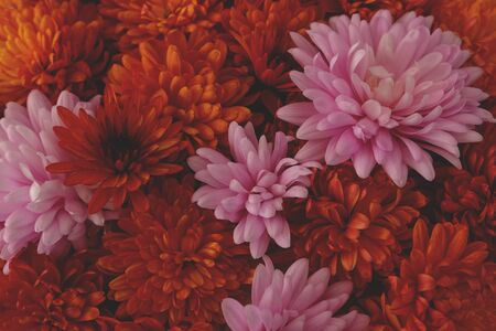Beautiful pink and red chrysanthemum flowers in full bloom, flowery texture for background. Autumn flowers.