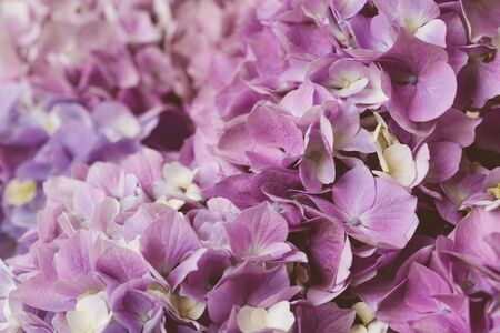 Flowery texture for background. Beautiful blooming purple hydrangea flowers, close up. Place for text
